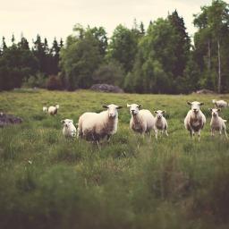 lamb hugs