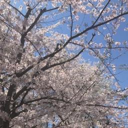 Cherry Avenue Cherry Blossoms